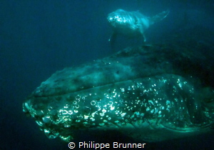 Baby whale just born. by Philippe Brunner